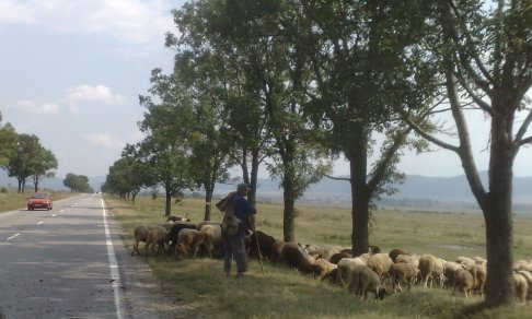 Sheep_crossing_street_001
