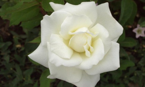 Oil_rose_white